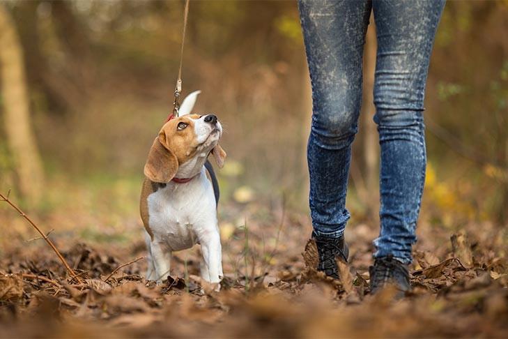 beagle-walking-on-leash-looking-up.jpg