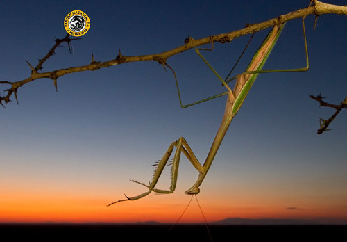 10_Tree-mantis_por.jpg