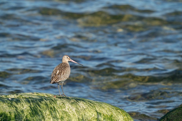 bar-tailed-godwit-4559693_640.jpg