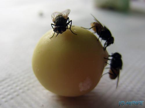 Moscas numa bola de malteser [en] Flies a malteser sweet ball