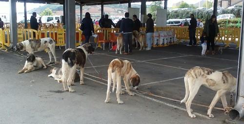 Cão de Gado Bragança 29Abr2017 aa.jpg