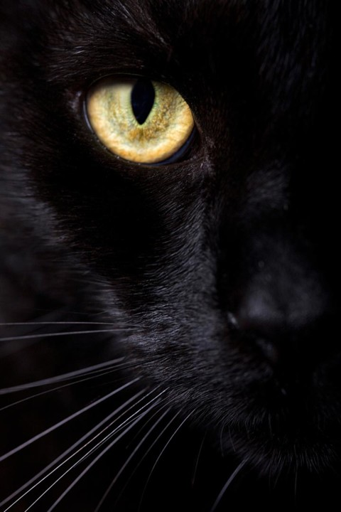 black_cats_cat_health.jpg