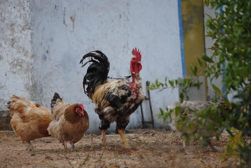O Galo e as suas galinhas