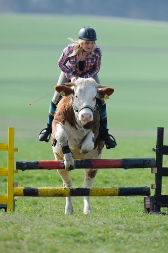 Vaca pensa que é um cavalo