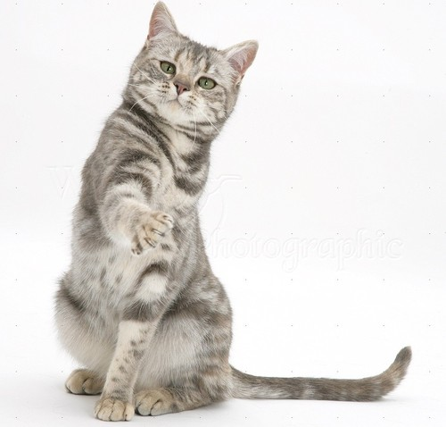 18566-Tabby-cat-with-paw-up-white-background.jpg