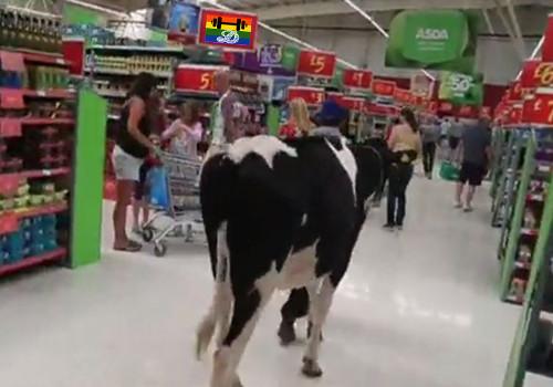 HD Vacas pastam em shopping.jpg