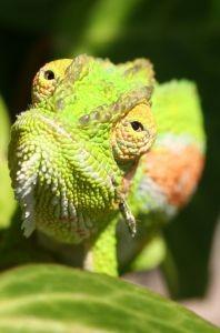 Imagem de um camaleão. Fonte da imagem: http://www.sxc.hu/photo/650781