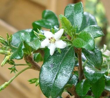 folha e flor de carmona