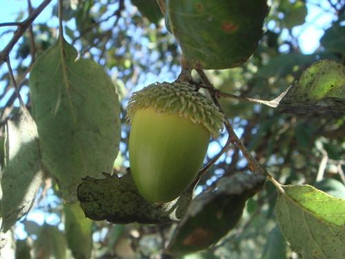 Quercus_suber_11.JPG