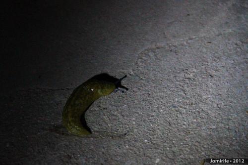Lesma / Slug (10)