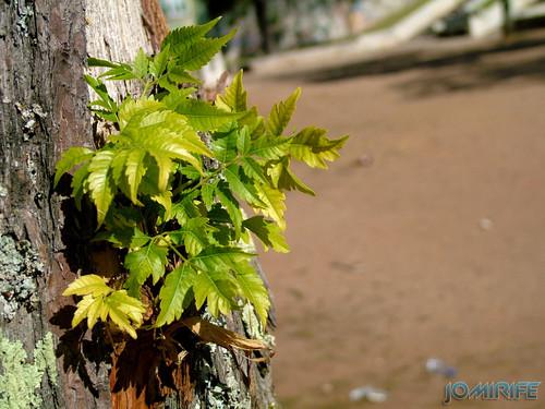 Folhas a crescer em tronco rachado de uma árvore [en] Leaves growing on a tree trunk cracked