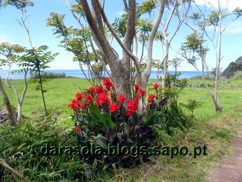 Azores_flores_faja_grande_01.JPG