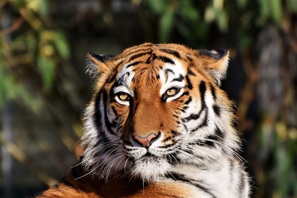 tiger-3424791_960_720.jpg