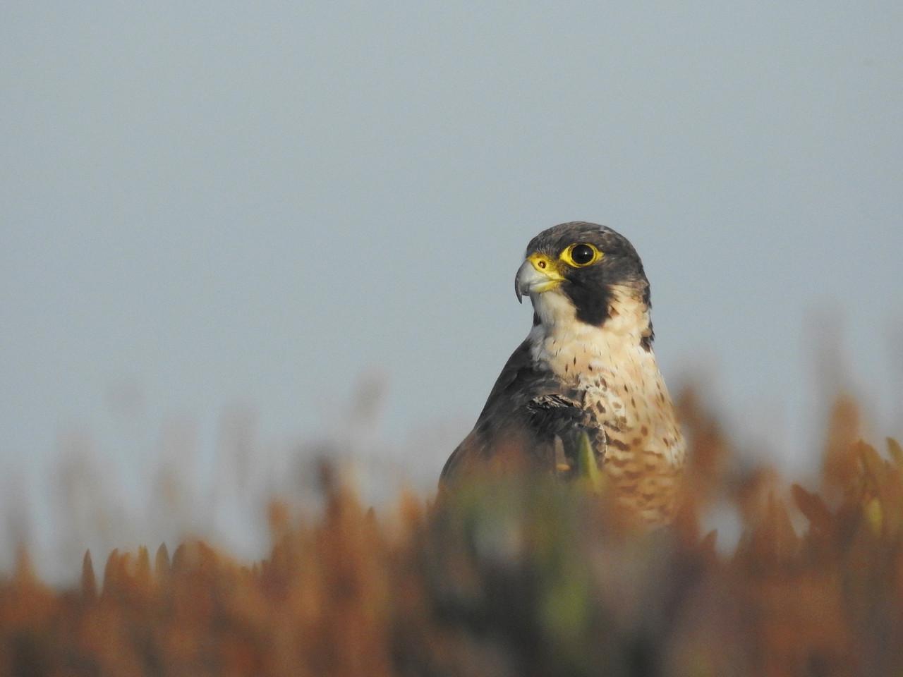 Falcão-peregrino (Falco peregrinus) Cabo Sardão