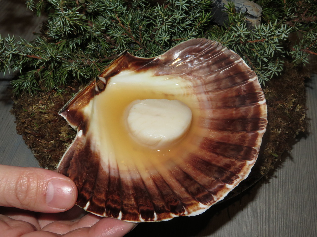 "Scallop ""i skalet ur elden"" cooked over burning juniper branches"