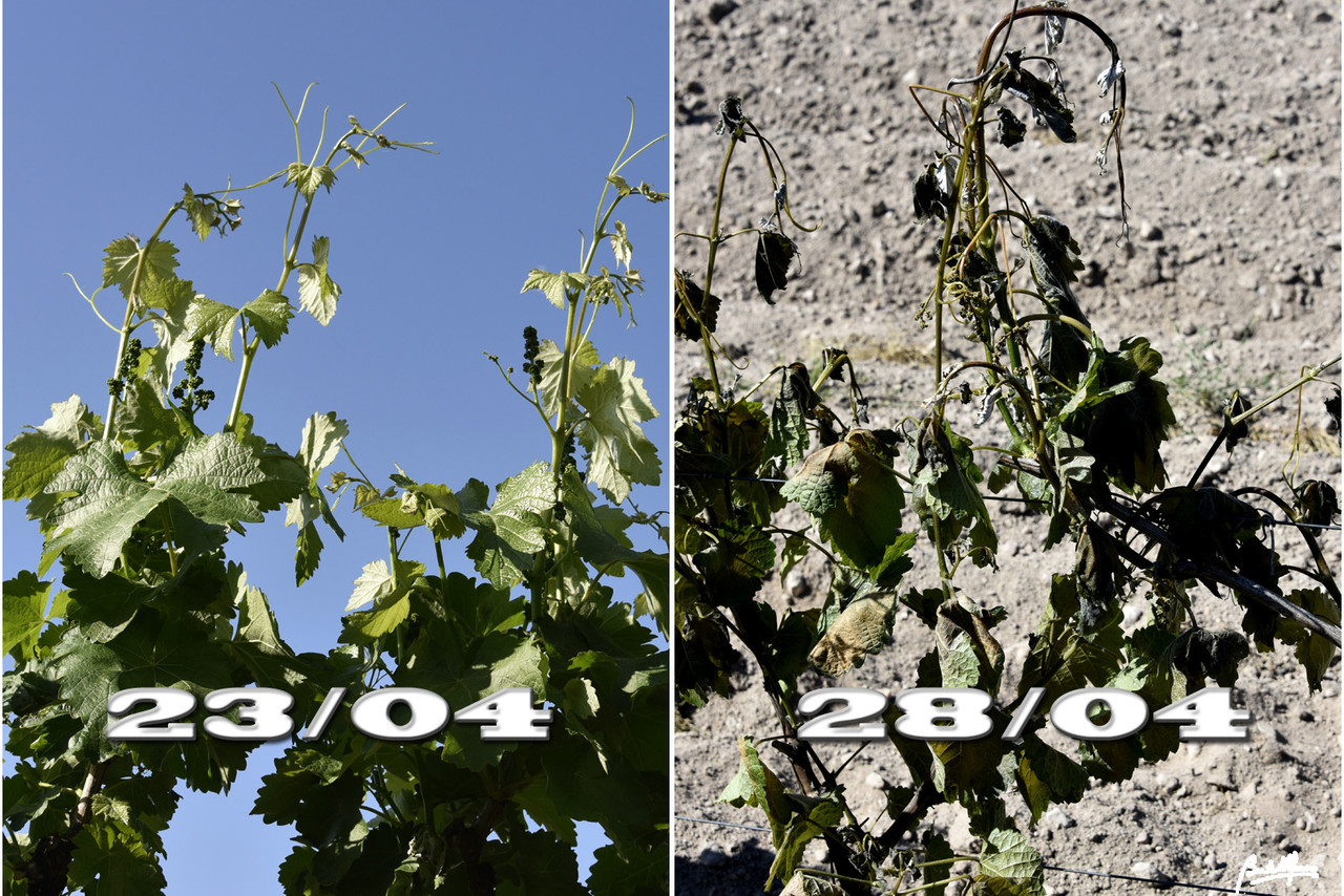 Geada vinhas 2304-28042017.jpg