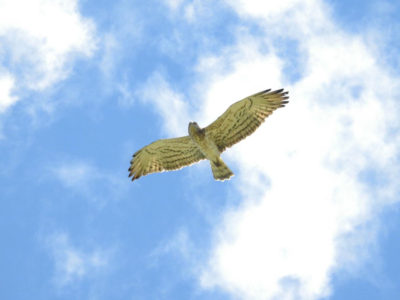 Águia-cobreira (Circaetus gallicus) IBA São Cris