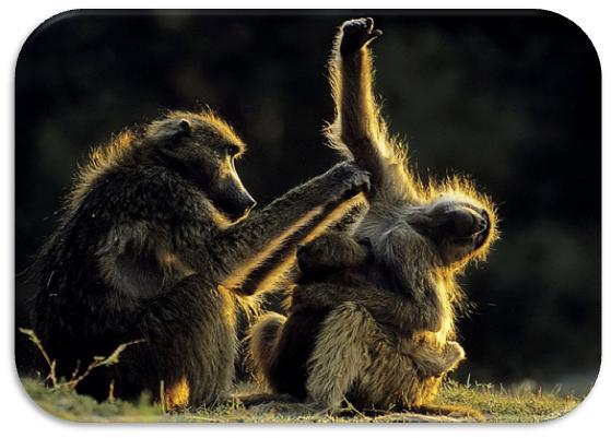 familia de babuínos