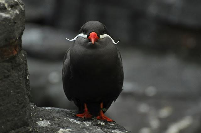 aves com bigode